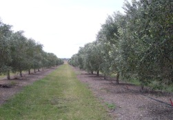 Olive Grove rows